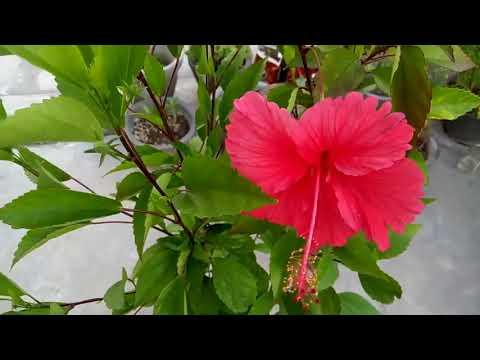 497 Tips To Have Maximum Flowering In Hibiscusगडहल