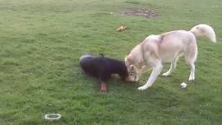Husky Killing Doberman At A & B Dogs Boarding & Training Kennels.