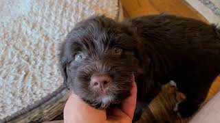 Chocolate Brown male 7wk Portuguese Water Dog puppy