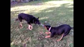 Rotti X Vs German Shepherd