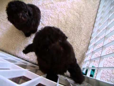 Chocolate Brown Toy Poodles Puppies 7 Weeks Old Youtube