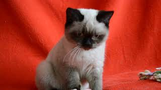 Купить шотландского котенка. Шикарные шотландские котята сил-поинт окраса.