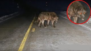 The most incredible encounters with wild animals on the road