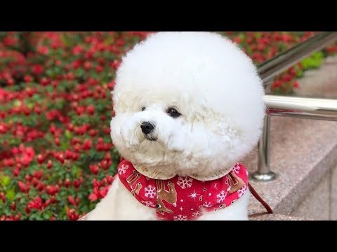 Cute Bichon Frise Puppies Videos Compilation – Cute And Funny Bichon Frise Moments #5