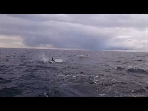 Giant tuna chasing baitfish in Hordaland, Norway