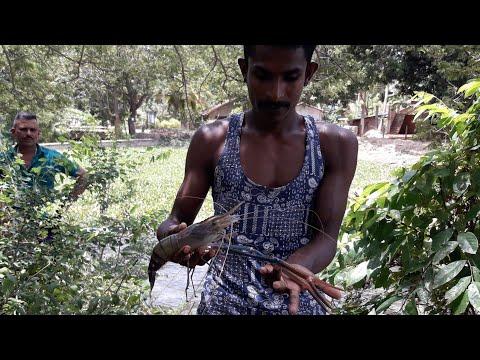 Shrimp Fishing 🇱🇰 | Sri Lankan Prawns Catching  | Prawns Fishing | Fishing In Village  | නිල් අන්ඩා