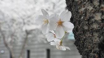 Hanami: Japan zur Kirschblütenzeit (komplette Folge aus Japan-Dokus 2018)