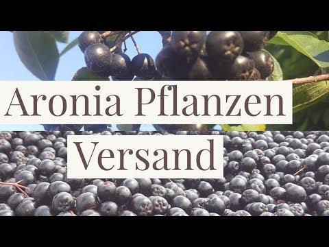 Aronia Pflanzen Versand startet für Privatkunden