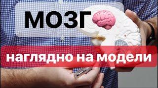 МОЗГ:строение и функции.ЕГЭIОГЭ, наглядное строение мозга человека на модели.