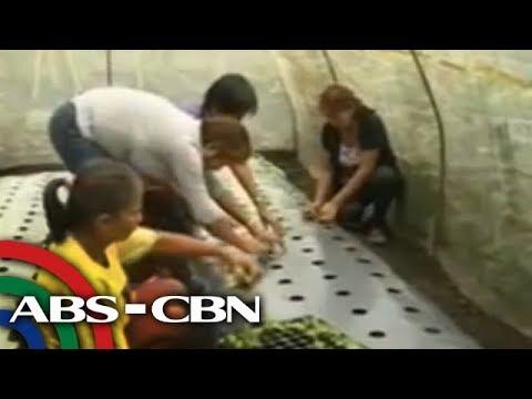 TV Patrol Bicol - Organic farming patok sa Legazpi, Albay