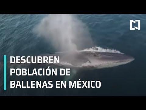 Descubren población de ballenas de aleta en el Golfo de California - Las Noticias