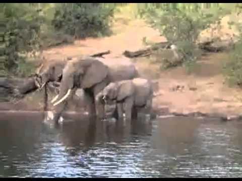 Elephant Crocodile Crocodile Attacks Elephant