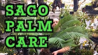 SAGO PALM HOUSE PLANT CYCAD CARE: MY TIPS AND TRICKS TO CARE FOR SAGO PALMS