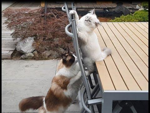 Kitten Goals  (Timo the Ragdoll Cat)