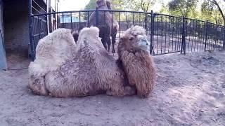 Верблюды в зоопарке