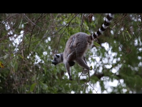 Ring-tailed lemur with baby feeding from very thin branches, Berenty Reserve, Madagascar