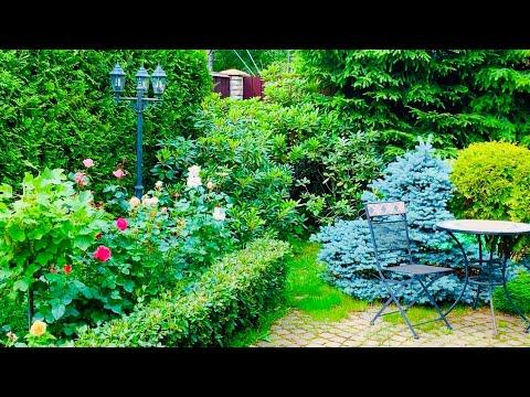 Хвойники, розы, рододендроны-декоративные ландшафтные композиции в моем саду