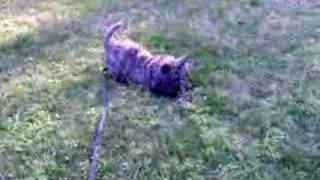 Hannah, Cairn Terrier, Mighty Pine Cone Killer