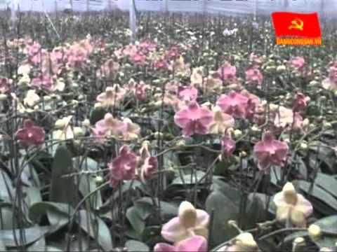Hưng Yên: Trồng hoa lan hồ điệp bằng phương pháp cấy mô