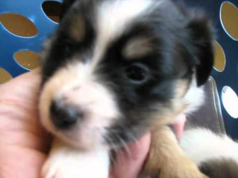 Shetland Sheepdog Sheltie Breed Puppy Puppies For Sale In TN KY AL GA NC SC VA FL OH