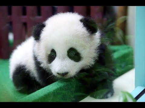 Zoo Negara perkenalkan Liang Liang
