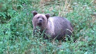 Охота на медведя осенью 2017 года
