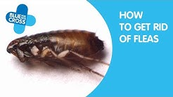 How To Get Rid Of Fleas From Your Cat | Blue Cross