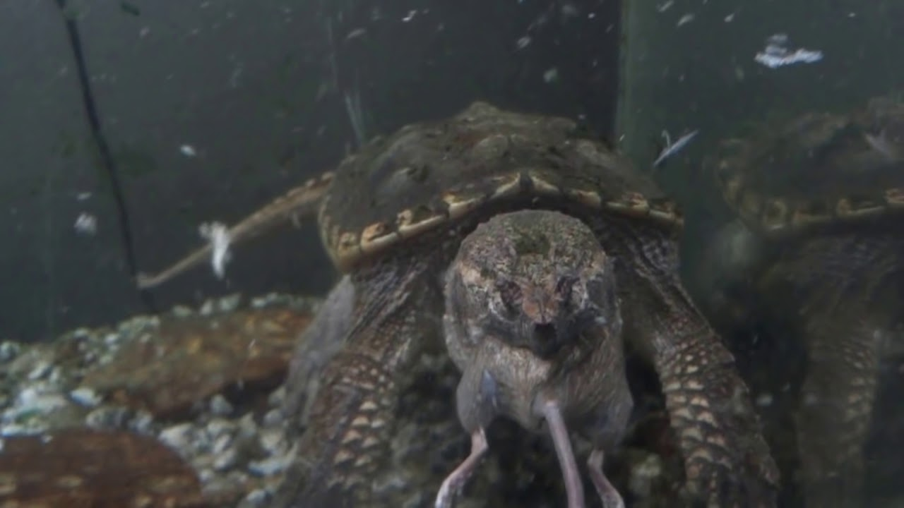 snapping turtle bites mouse in half