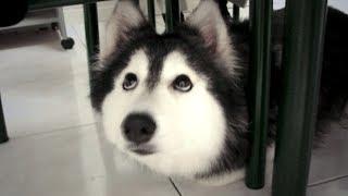 Husky wurde von Katzen erzogen - sein Verhalten ist phänomenal!
