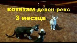 ✅ Котятам девон-рекс 3 месяца 10 дней