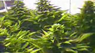 Marijuana Time Lapse! (High Quality)