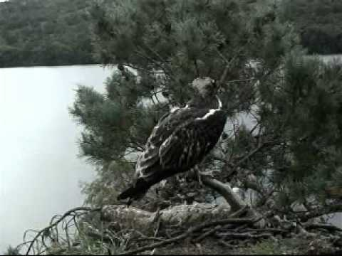 Blue44 on 06 Sept gets another fish eventually - Scottish Wildlife Trust