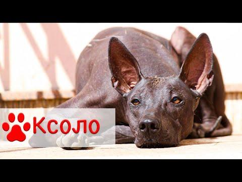 Ксолоитцкуинтли | Мексиканская голая собака - Все о породе