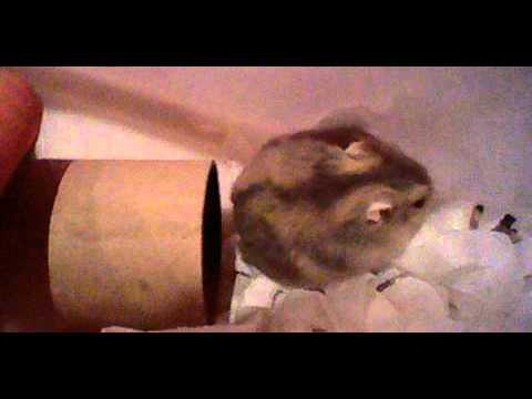 pregnant dwarf hamster youtube