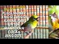 Kicau Burung Pleci Masteran Cucak Jenggot  Mp3 - Mp4 Download