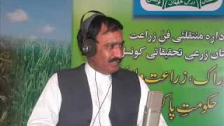 Turnips cultivation technology Pakistan Dr. Ashraf Sahibzada