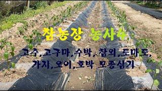 참농장 농사4(고추, 고구마 등 모종심기)