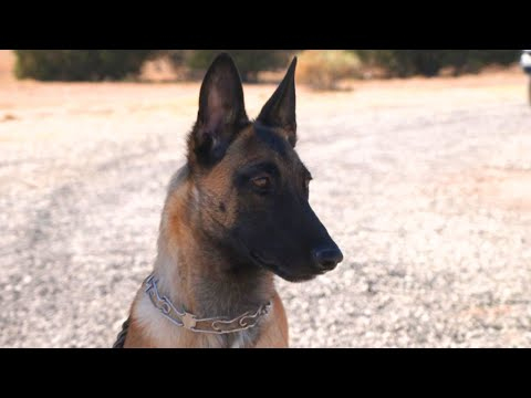 How Protection Dogs Are Trained