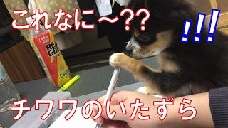 【チワワ子犬】犬にいたずらされて勉強できない