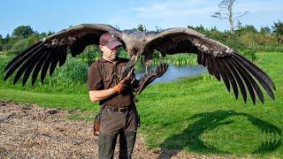 Thần Ưng Andes và 6 Con chim Khổng Lồ biết BAY Lớn nhất hiện nay!