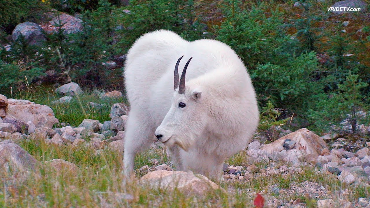 rocky mountain goats in jasper national park motorcycle rider
