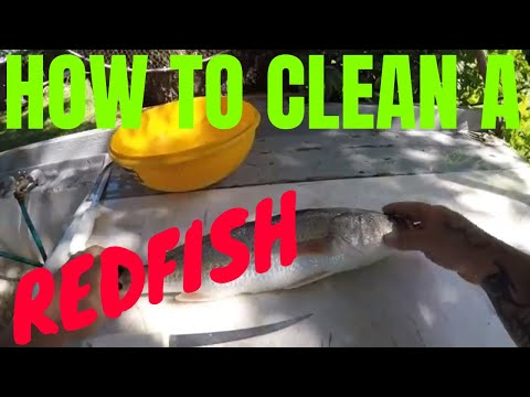 HOW TO CLEAN A REDFISH(with the pull method)