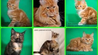 Купить котят мейн-куна. Красноярск .Продаются большие кошки