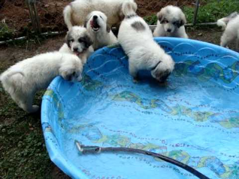 Great Pyrenees Give Birth To 9 Puppies Funnydog Tv
