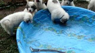 Great Pyrenees puppies in swimming pool