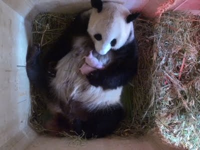 Најнежното видео со мајка панда кое ќе го видите на интернет