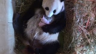 Raw: Panda Surprises Vienna Zoo With Two Cubs