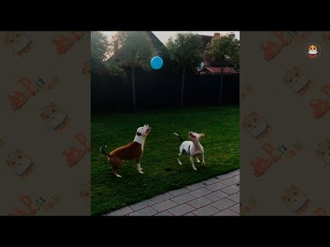 Funny Pitbull Video 2017 # 6