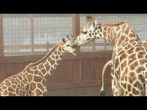Download Youtube: April The Giraffe's Baby Reunites With His Father
