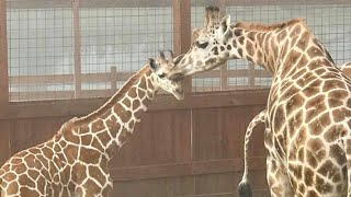 connectYoutube - April The Giraffe's Baby Reunites With His Father